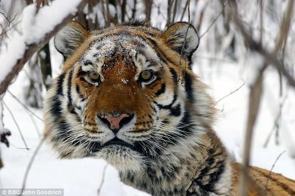 Mơ thấy hổ