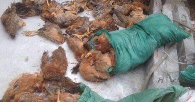 Đánh đề con gì chắc ăn nhất khi nằm mơ thấy gà chết?