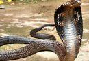 Ngủ mơ thấy rắn hổ mang nên đánh con xổ số nào ăn chắc