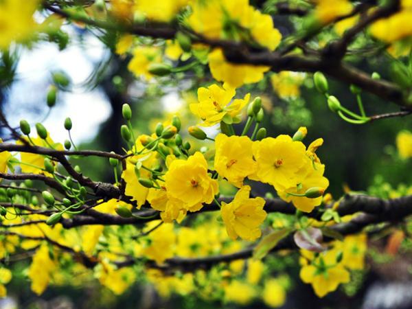 Nằm mơ thấy hoa mai có ý nghĩa gì trong cuộc sống