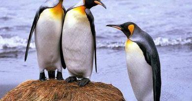 Mơ thấy chim cánh cụt là điềm báo lành hay dữ?